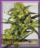 Exotic Spicy Bitch Female 5 Marijuana Seeds